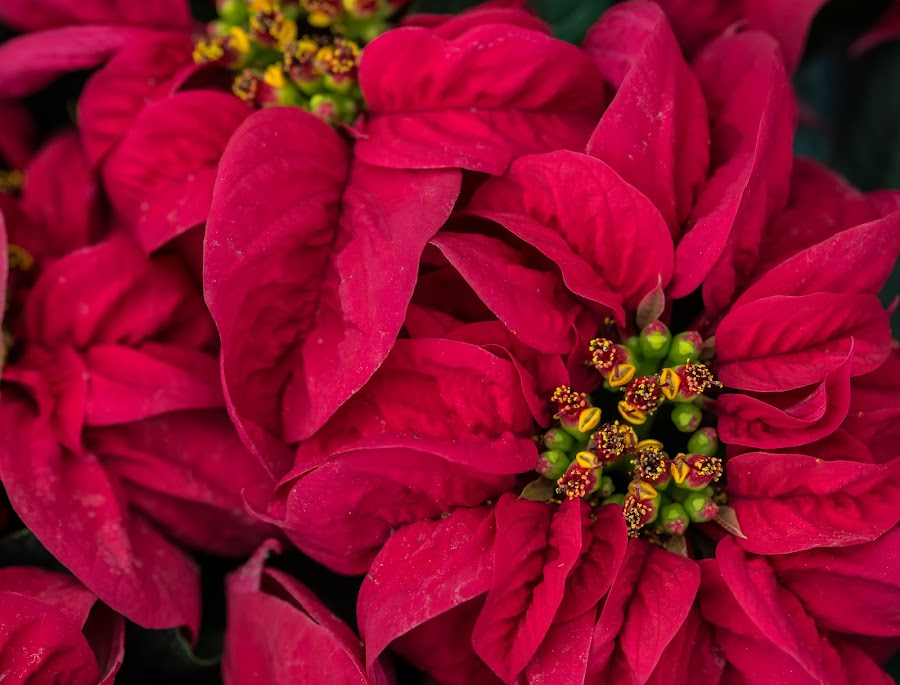Poinsettias by Lynn Wiezycki - Public Holidays Christmas ( plant, holiday, poinsettia, red, christmas, flower )