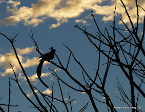 Photo: DAY 7: Black-throated Magpie-Jay; sunrise at Rancho Primavera