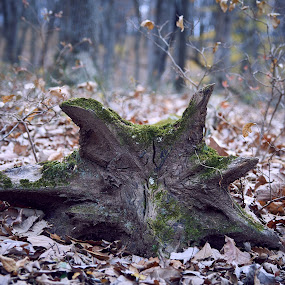 Star Stump by Svemir Brkic - Nature Up Close Trees & Bushes ( forest, star, fall, tree, stump )