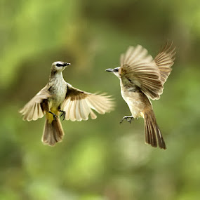 dancing in the air by Yan Abimanyu - Animals Birds