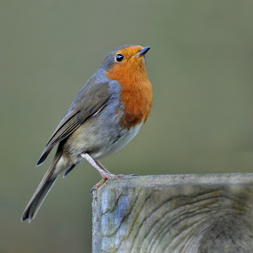 Robin by Ita Martin - Animals Birds ( bird, robin,  )