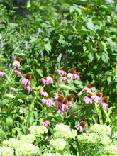 Photo: echinaea and