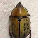 Eastern Hercules Beetles