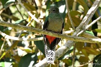 Photo: Resplendent Quetzal (female) @ Savegre Lodge, San Gerardo de Dota