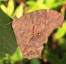 Photo: Common Evening Brown