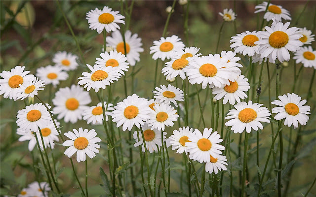 flower Themes & New Tab