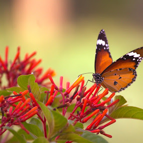 butterfly with flower by Mukesh Kumar - Animals Insects & Spiders