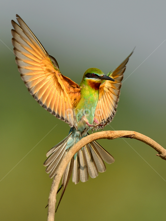 BTBE Landing by Prasanna Venkatesh - Animals Birds ( blue tailed bee eater landing mysore )