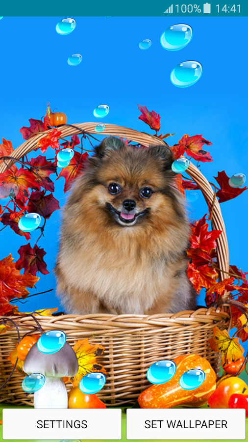 Live Wallpapers – Pomeranians- screenshot