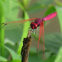 Crimson Marsh Glider Dragonfly (male)