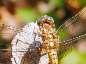 """Photo: Gros plan libellule """"Sympetrum striolatum"""" à l'affût posée sur un piquet. Cool !"""