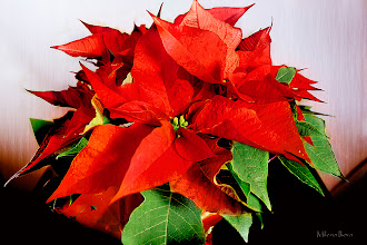 Photo: ...holiday beauty...  Happy Friday/Floral Friday, Everyone :)  In the spirit of this wonderful Holiday season, I wish you all Happy Holidays and a Very Happy New Year. I may not be very active on G+ for the next week, you know Holidays :))), but I will try to check on my profile and stream at least once per day, so not to miss too much...  Contribution to #floralfriday  +FloralFriday Thanks to +Tamara Pruessner; #breakfastclub  +Breakfast Club by +Gemma Costa; #paintitclub  +PaintIt Club by +Richard Mabb, +Celso Carvalho, +Clare Bambers, +Rick Leaf, +k phelps, +Astrid Bartels, +Carol Small, +Elin Vaeth, +Stefan Kierek and myself; #canon   #canonusers +Canon Users; #10000photographersaroundtheworld +10000 PHOTOGRAPHERS around the World by +Robert SKREINER; #plusphotoextract   #PlusPhotoExtract #photography #potd ; #textureblendphotography  +Texture Blend Photography by +Gemma Costa    View larger image and more works from Red/Pink Floral Gallery: http://milenailieva.smugmug.com/Galleries/RedPink/23845377_m4w7DT#!i=2284349836&k=GHx6brv