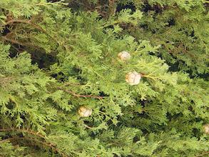 Photo: Hojas y gálbulos de ciprés común