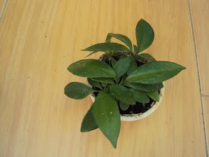 Photo: Hoya carnosa de semilla de Sally