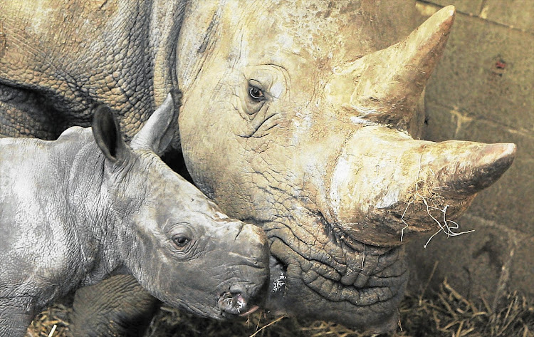The illegal trade of rhino horns has killed thousands in South Africa.