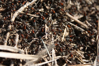 Photo: Formica rufa  Hymenoptera > Formicidae