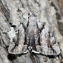 Widow Underwing Moth
