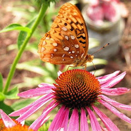 by Cathy Elliott-Burcham - Novices Only Wildlife ( orange, butterfly, pink, coneflower, insect )