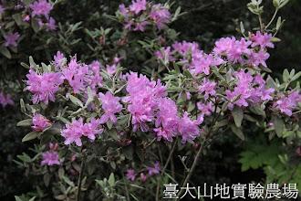 Photo: 拍攝地點: 梅峰-蘭園 拍攝植物: 紅毛杜鵑 拍攝日期:2012_05_01_mfbear