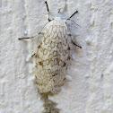 Giant Lepoard moth
