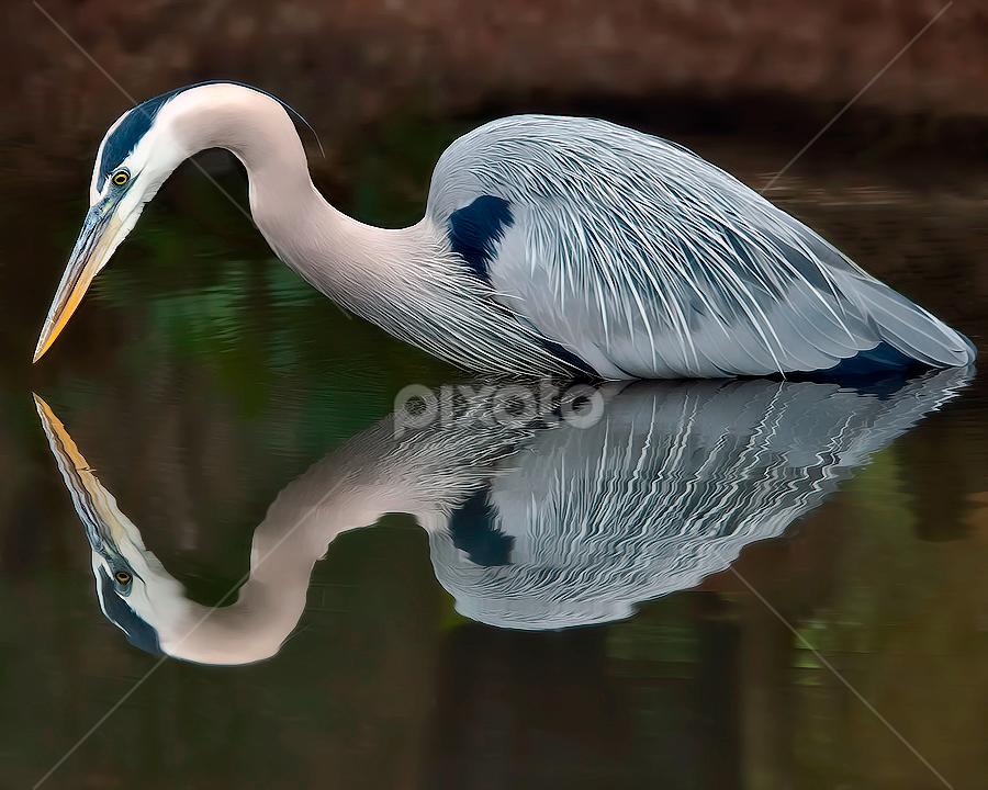 Mirrored by Shelly Wetzel - Animals Birds ( great blue heron )