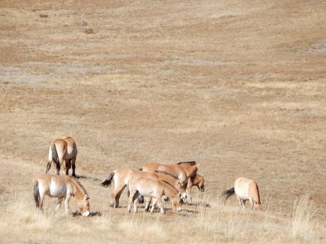 モンゴル野生馬