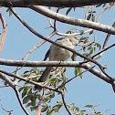 Ruiseñor/ Northern Mockingbird