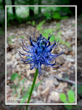 Photo: Raiponce bleue, Phyteuma nigrum