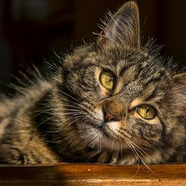 Sarah by Erika Mondlová - Animals - Cats Portraits ( cute cat, cat portrait, nice, animal, eyes )