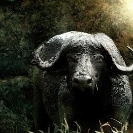 I Know Where You Live by Bjørn Borge-Lunde - Digital Art Animals ( wild animal, buffalo, wilderness, nature, wildlife, africa, animal )