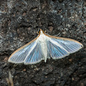 Four-spotted Palpita Moth