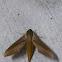 Tersa sphynx moth