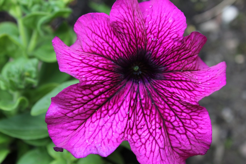 close up of a bright purple petunia blossom with green foliage