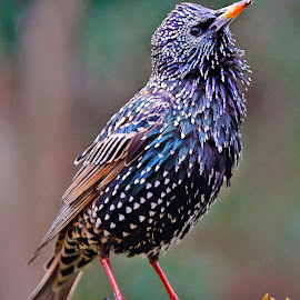 Sansonnet n00101 by Gérard CHATENET - Animals Birds