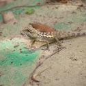 斯文豪氏攀蜥 (Swinhoe's tree lizard)
