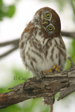 Photo: Pearl-spotted Owlet