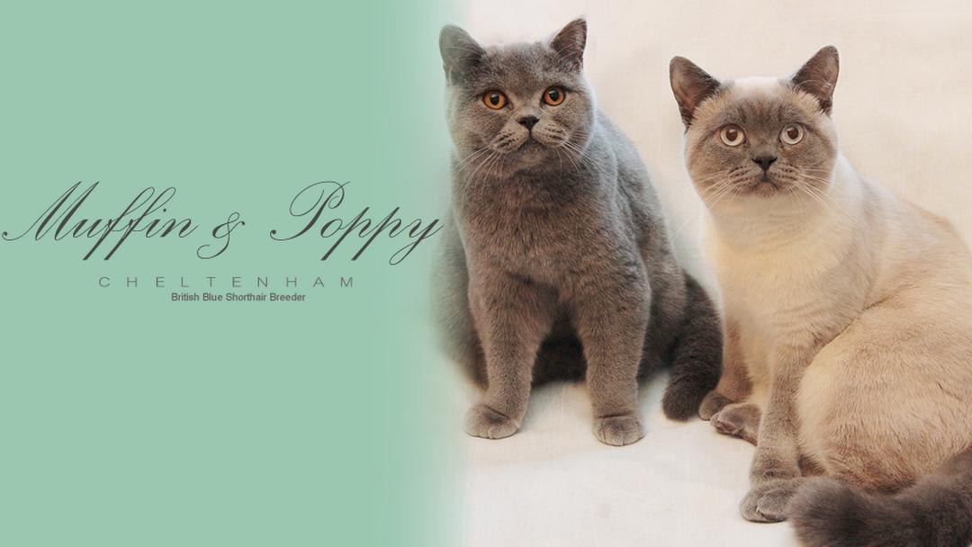 Muffin & Poppy - British Shorthair Breeder - Pet Shop in Winchcombe