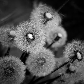 Mono Weeds by Jon Marshall - Nature Up Close Flowers - 2011-2013 ( b&w, dandellion, weeds )