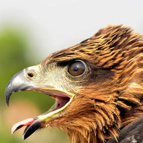 indian kite by Nitin Puranik - Animals Birds