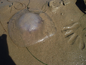 Photo: Jellyfish stranded on Santa Barbara beach with SS's hand print for scale.  The purple stingers are visible through the body.