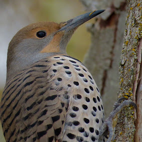 Northern Flicker  by Nick Swan - Animals Birds ( bird, nature, northern flicker, wildlife, woodpecker )