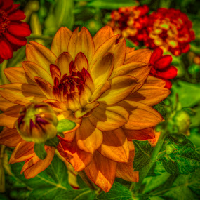 Red & Yellow Dahlia by Dav Akers - Nature Up Close Flowers - 2011-2013