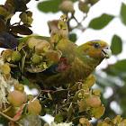 Fuertes Parrot