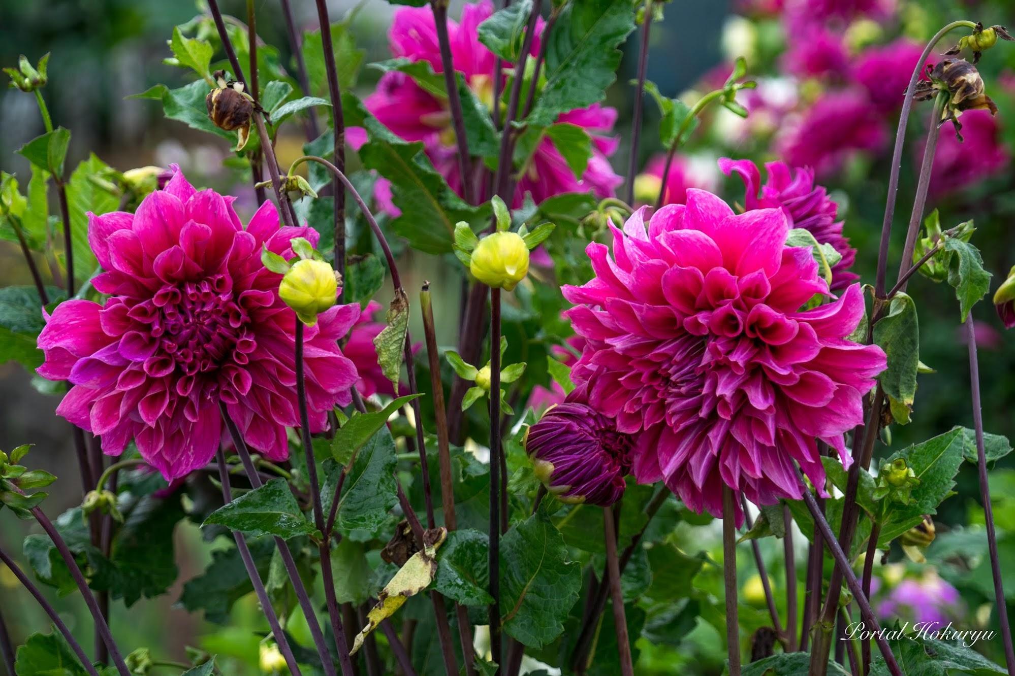 華麗なる花姿