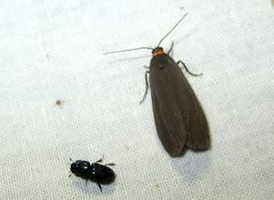Photo: Atolmis rubricollis    Lepidoptera > Erebidae