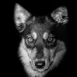Thor- Dog of war by Sean Kirkhouse - Animals - Dogs Portraits ( pet, white, puppy, thor, dog, black, portrait,  )