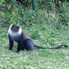 Mount Kenya Sykes' Monkey
