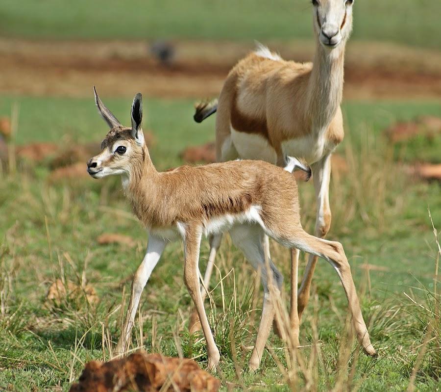 Newborn by Charmane Baleiza - Animals Other Mammals ( charmane baleiza, mammel, wildlife, springbok, newborn )