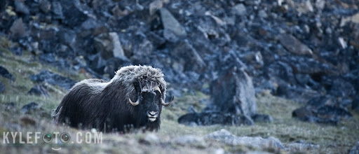 "Photo: I was up in the high Canadian Arctic, outside Dundas harbour on Devon island, when I caught sight of this muskox. My fellow photographers and I were very excited, but in order to approach this guy to get a decent photo, we had to be very aware of how these muskox perceive this world.  They are very skittish and would never let us approach, they have a very good sense of smell and decent hearing, but thank goodness they have extremely poor vision. Luckily the wind was blowing towards us, had it been blowing the other way we wouldn't even catch a glimpse of him.  Being a group of photographers on expedition with me, we all wanted a shot, so we slowly walked towards the grazing muskox like a line of paparazzi, all 15 of us completely silent. It was like a game of ""stoplight"": the muskox would look down and munch on the arctic flora, and we would all approach, the muskox looks up and stares right at us and we all freeze. This continued for at least half an hour until we were close enough to get this image.  We also don't want to get too close, having a nearly blind beast charge at us should we startle it could be more disastrous than not getting a photo at all."