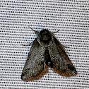 Small baileya moth